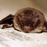 Kelelawar Memilih Tidur dengan Sejenis