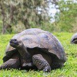 Kura-kura tertua di Dunia Merayakan Kesetaraan Pernikahan di St Helena